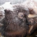 Зубро-бизоны в Токсово просят о помощи!