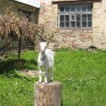 Коза СИЛЬВА из Гатчинского парка.